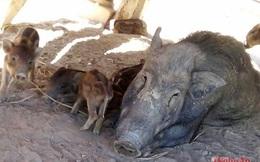 Nuôi lợn rừng thu lãi trăm triệu/năm