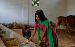Nghề kỳ lạ ở đất nước nơi nước tiểu của bò còn đắt hơn cả sữa