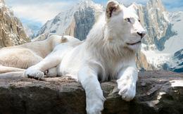 """Chú sư tử trắng cực hiếm """"trăm năm có một"""" mới ra đời ở Mỹ"""