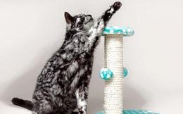 Chú mèo có màu lông dần bạc trắng như tóc người già