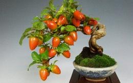Mãn nhãn ngắm loạt cây bonsai ăn quả mang nhiều tài lộc
