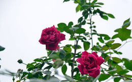 Hoa hồng - Vị thuốc hoạt huyết, chống viêm