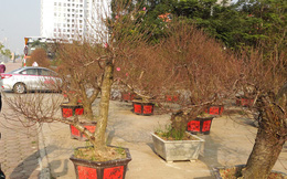 """Người làng Nhật Tân """"hãm, thúc"""" đào thế nào để nở hoa đúng Tết?"""