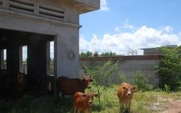 Nhà máy nước sạch 30 tỉ thành chuồng nuôi bò