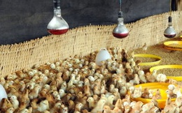 Thị trường trong nước thiếu mới cho nhập gà Trung Quốc