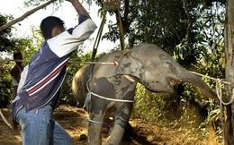 Câu chuyện đau lòng đằng sau những con voi hiền hòa tại Thái Lan