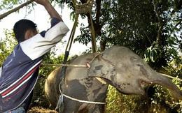 Sự thật đau lòng về những con voi giỏi vẽ tranh, phục vụ khách giải trí ở Thái Lan