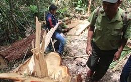 Vụ phá rừng ở Quảng Nam: Có dấu hiệu bao che, dung túng