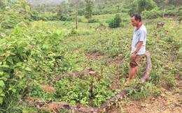 VTV có dàn cảnh phóng sự phá rừng?