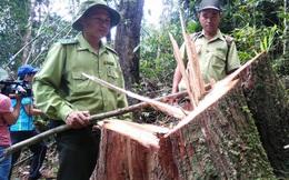 Thêm 3 nghi can vụ phá rừng pơ mu ra đầu thú