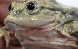Không hiểu tại sao, 10.000 cá thể ếch bìu đang trên bờ tuyệt chủng bị đột tử