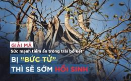 """Những bài thuốc """"danh bất hư truyền"""" từ loại quả dân dã sắp bị """"bức tử"""" ở Việt Nam"""