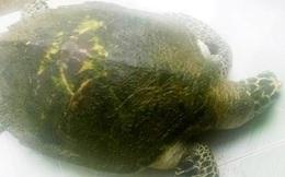 TT-Huế: Liên tiếp phát hiện rùa biển quý lạc vào đầm phá
