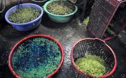 Bắt quả tang cơ sở nhúng rau muống vào hóa chất tạo màu