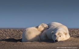 Nữ nhiếp ảnh gia lặn lội lên Bắc cực chụp ảnh gấu trắng và tuyết nhưng buồn thay, chẳng có tuyết, chỉ còn lại những hình ảnh này