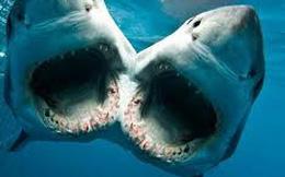 Một con cá mập 2 đầu đang được các nhà khoa học nuôi dưỡng, ác mộng trong phim ảnh sắp trở thành sự thực