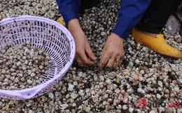 Hà Tĩnh: Hàng chục tấn sò lông dạt vào bờ biển là bình thường