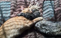 Cư dân mạng phát sốt với tình thương mến thương của 2 chú mèo