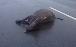 2 con trâu bị ôtô tông chết trên cao tốc Sài Gòn - Dầu Giây