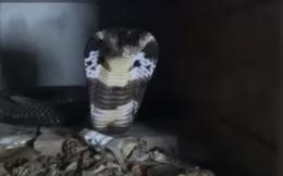 [VIDEO] Cận cảnh đưa thức ăn đến miệng rắn độc được nuôi ở Phú Thọ