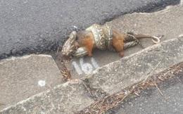Hãi hùng cảnh rắn ngang nhiên ăn thịt thú có túi giữa phố