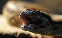 Tưởng chuột nên lấy 2 tay chộp, nào ngờ lại là rắn độc