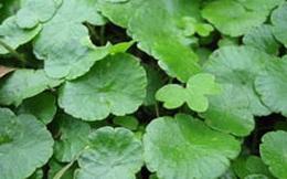 Bài thuốc chữa ho khan hiệu nghiệm từ rau má