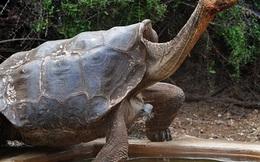 Cụ rùa 100 tuổi này cứu cả phân loài chỉ bằng cách... giao phối