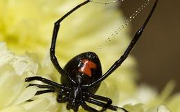 Phát hiện loại virus kỳ lạ mang gen của nhện độc Góa phụ đen