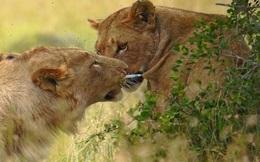 """Điên đảo với hành động """"ga lăng"""" của sư tử đực dành cho sư tử cái bị trúng tên"""