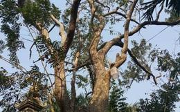Cận cảnh cây sưa 50 tỷ trong vụ đánh nhau chảy máu đầu tại cuộc họp ở Bắc Ninh