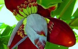 Những bài thuốc hay từ hoa chuối giúp bạn vừa được ăn ngon vừa chữa bệnh