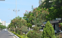 Cây có độc tố gây chết người được trồng tràn lan trên phố Đà Nẵng
