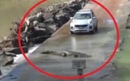 Video: Tài xế ô tô hoảng hồn nhường... cá sấu sang đường