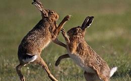 """Xem màn """"tỷ võ chiêu thân"""" của loài thỏ rừng"""