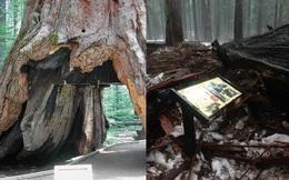 """Hầm thân cây - biểu tượng trăm năm của California cuối cùng cũng đã """"ra đi"""""""