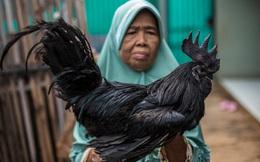 24h qua ảnh: Phát hiện gà trống đen tuyền cực hiếm ở Indonesia