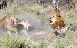 """24h qua ảnh: Bỏ đi lâu ngày, sư tử đực bị đàn sư tử cái """"xử"""" phũ phàng"""