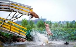 24h qua ảnh: Trang trại Trung Quốc cho lợn nhảy cầu tập thể dục