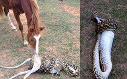 24h qua ảnh: Ngựa bàng hoàng nhìn trăn nuốt chửng chuột túi
