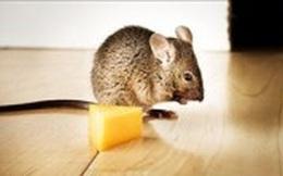 Bốn bước hiệu quả cho nhà chẳng còn chuột gặm nhấm