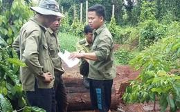Đắk Lắk: Bắt thêm 6 đối tượng trộm cây thủy tùng trên 500 tuổi