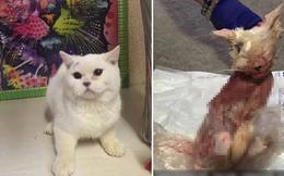 Chú mèo đáng thương bị lột da, vứt trước cửa hàng thú cưng vì lý do không thể chấp nhận