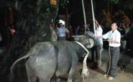 Bí thư Tỉnh ủy Yên Bái: Bỏ ngay hủ tục treo trâu đến chết ở lễ hội Đông Cuông