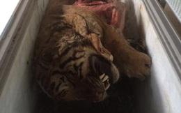 5 con hổ được phát hiện trong tủ cấp đông của 1 gia đình ở Nghệ An