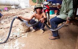 Nghệ An: Nhóm công nhân bắt được rắn hổ mang chúa dài hơn 3m, nặng 6kg