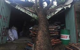 Cây xà cừ lớn bất ngờ bật gốc đè sập mái nhà ở TP.HCM