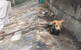 Chú chó bị chủ vứt xuống sông Tô Lịch vì mắc bệnh khó chữa