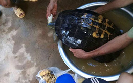 Rùa khủng vân vàng sắp tuyệt chủng được giải cứu