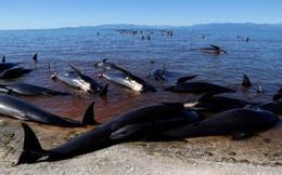 Lo ngại thi thể hơn 300 con cá voi sẽ nổ tung, New Zealand làm 2 việc cần kíp để đối phó